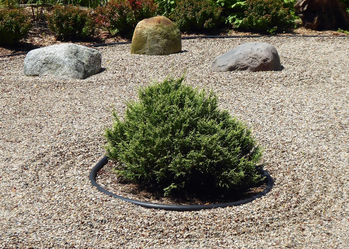 conifer in a zen garden
