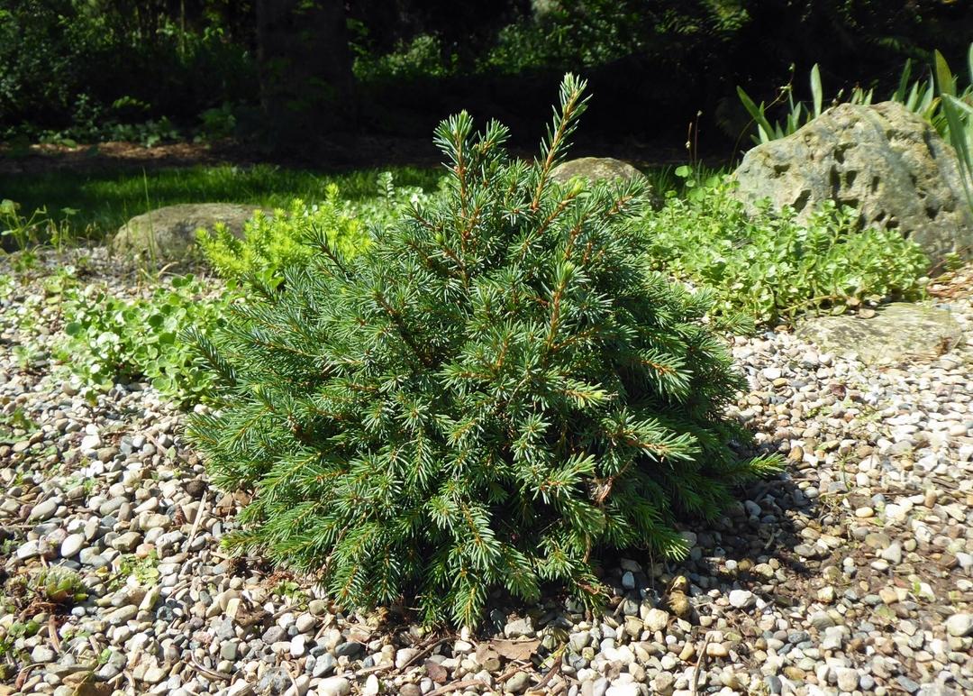 tiny conifer in gravel