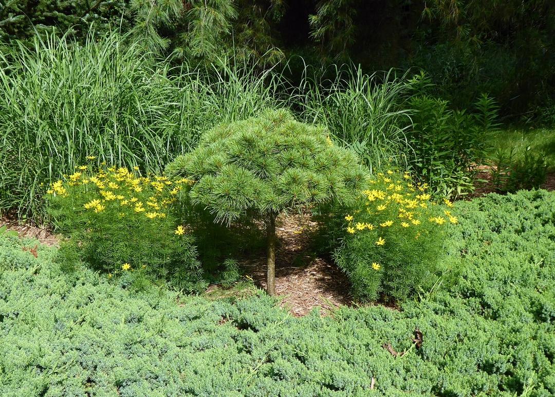 dwarf pine tree next to plants with yellow flowers