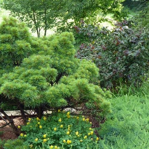 Conifers in Dale's Garden