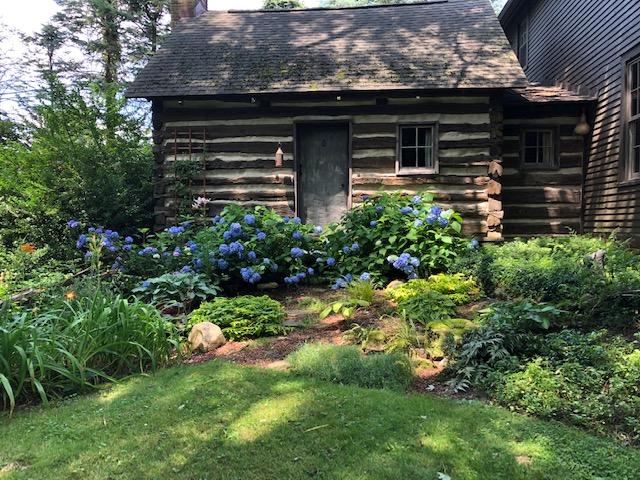 hydrangeas in front of old log cabin