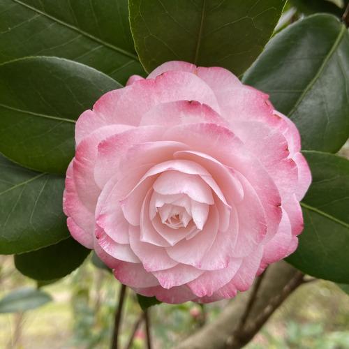 Historical Camellia Garden in Virginia