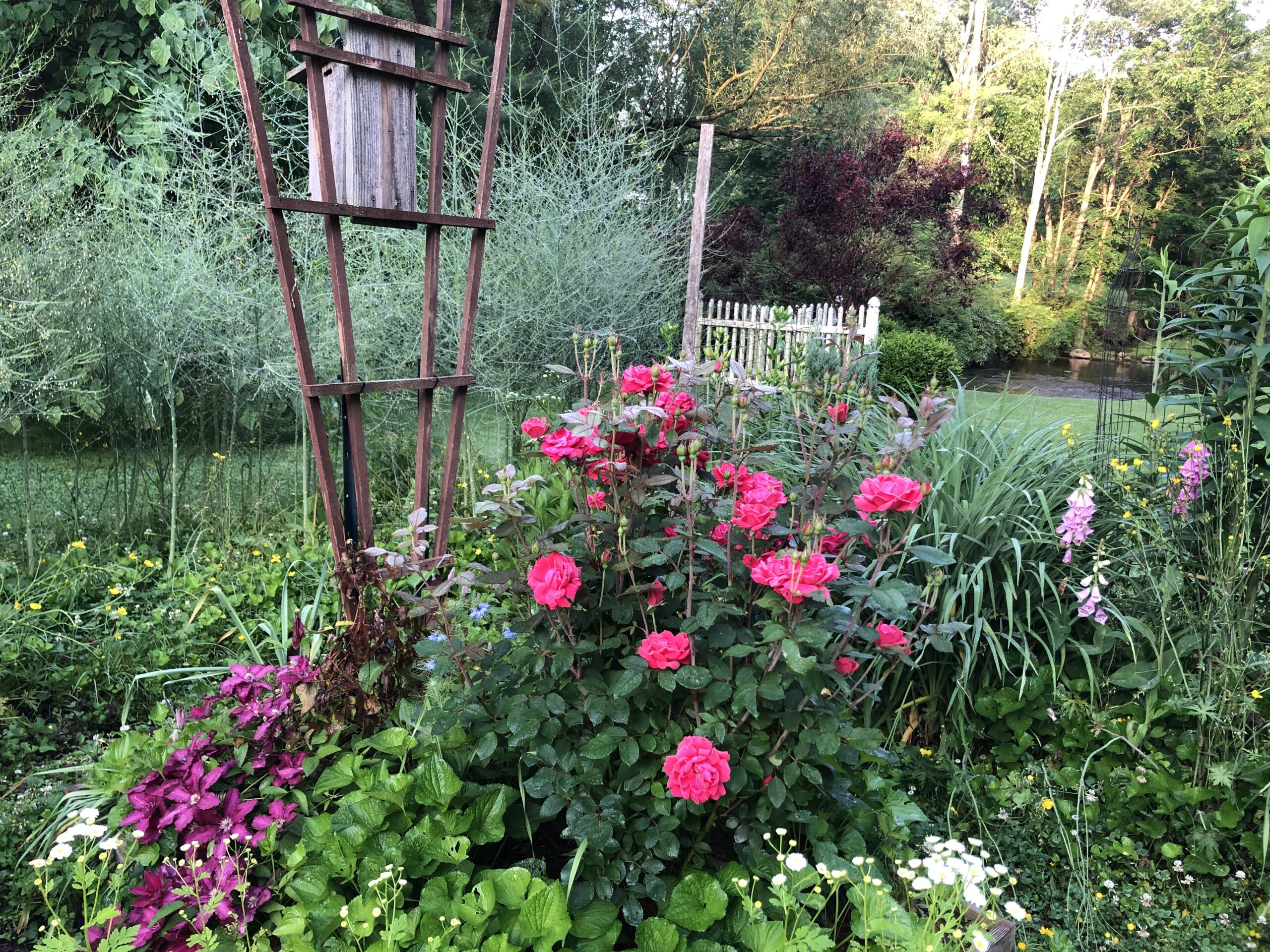 bright pink rose growing in front of a trellis