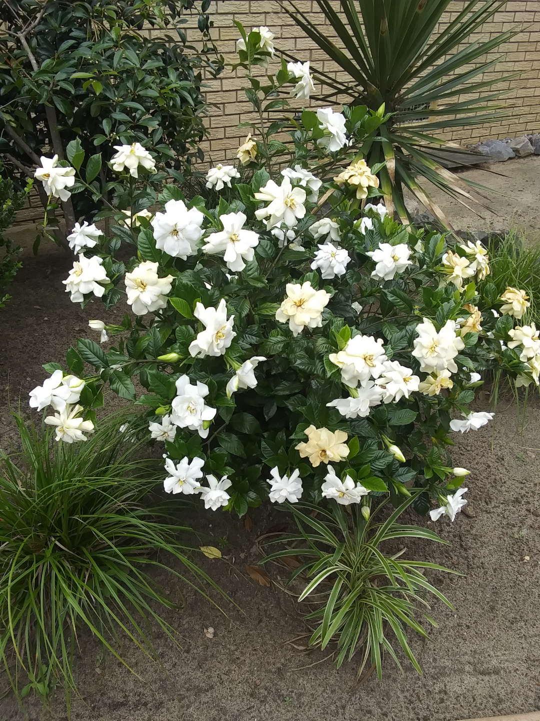 shrub with glossy leaves and white flowers