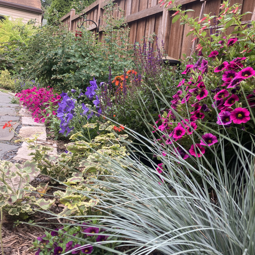 pink and purple flowers behind blue ornamental grass