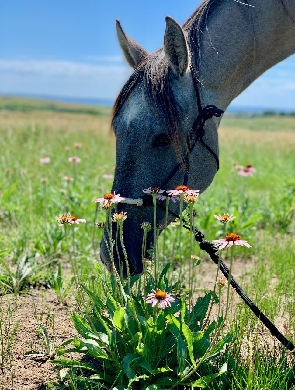 horse smelling clump of coneflowers