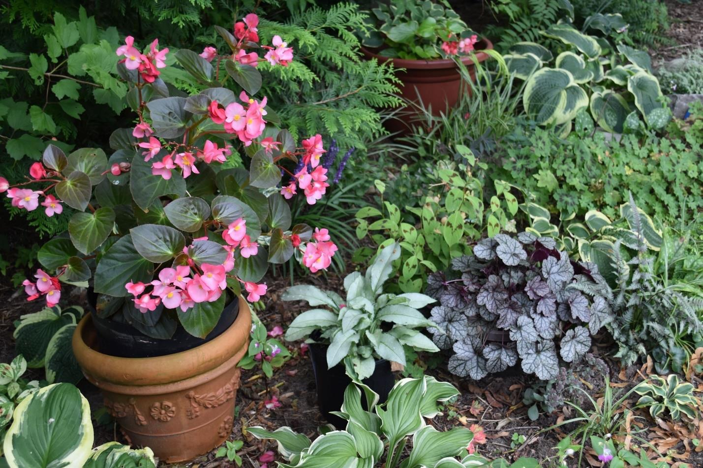 Shady garden of potted begonias