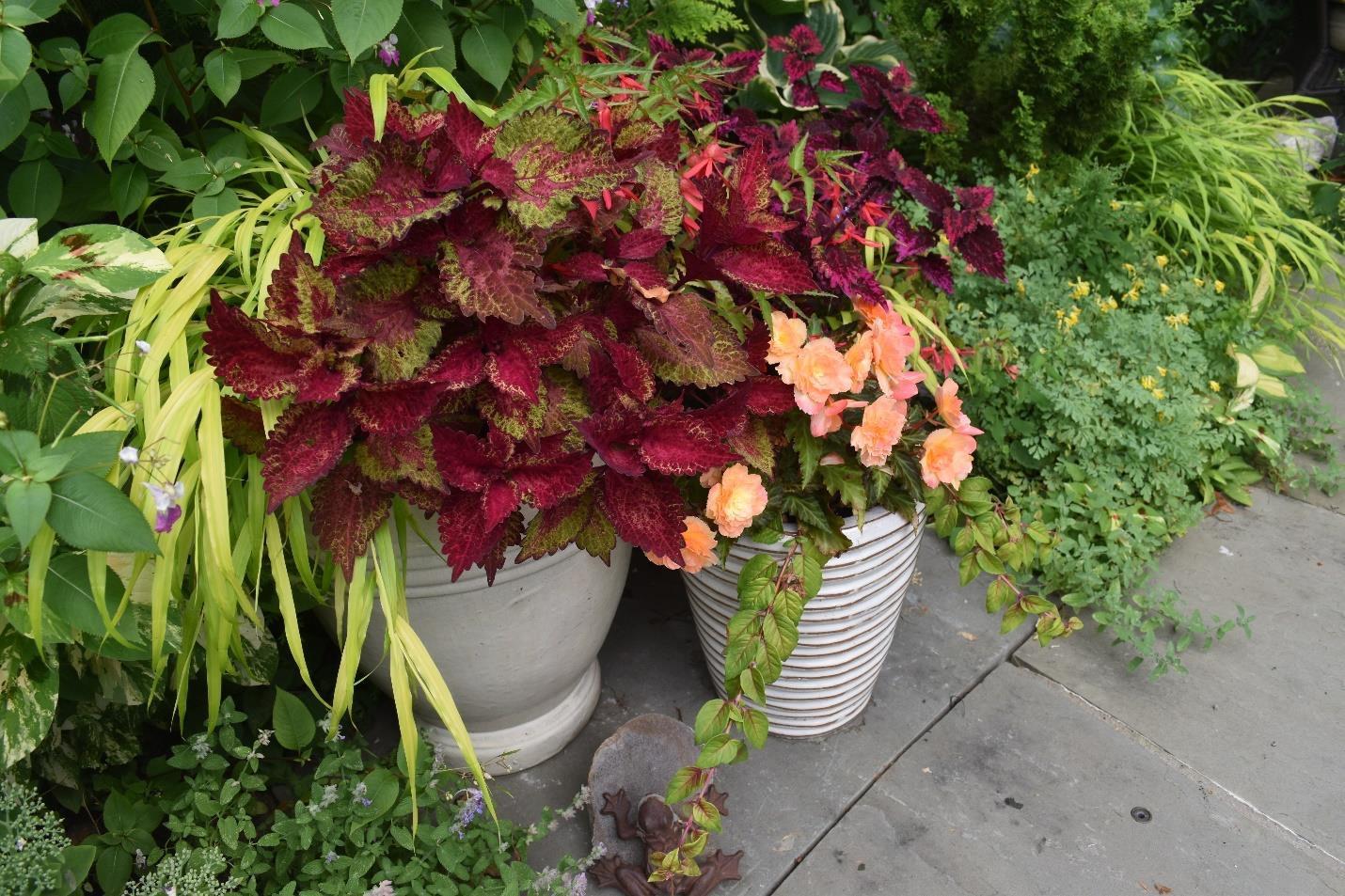 Coleus flower pot in front of green plants