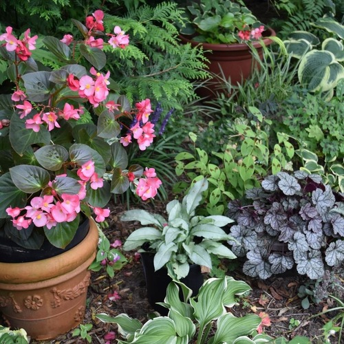 shade garden with a begonia in a pot