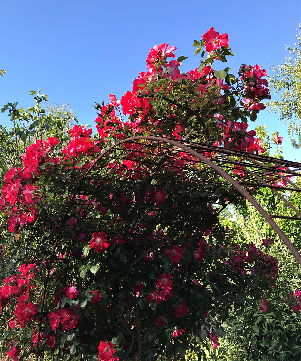 bright pink climbing rose