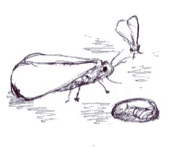 whiteflies in different stages of life