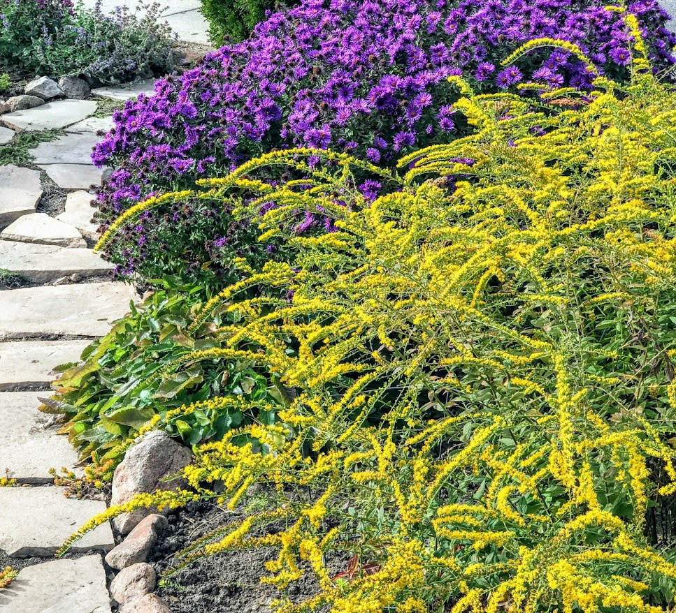 goldenrod in front of aster