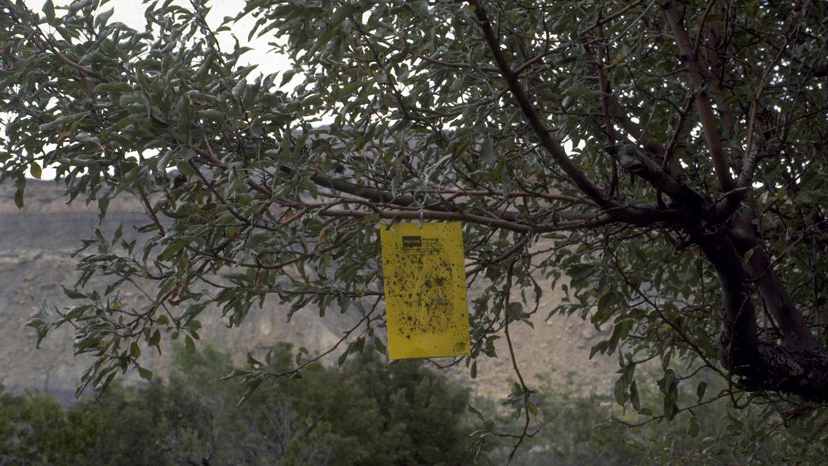 glue trap in a tree