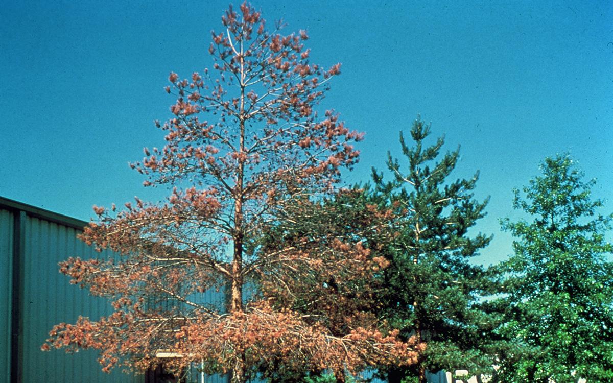 pine tree dead from pine wilt disease