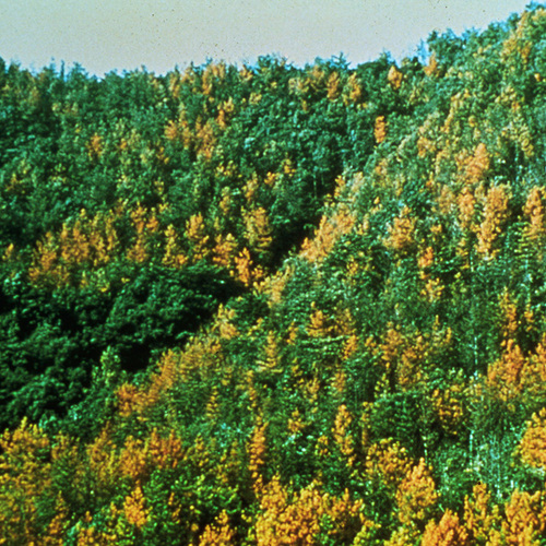 grove of pine trees affected by pine wilt disease
