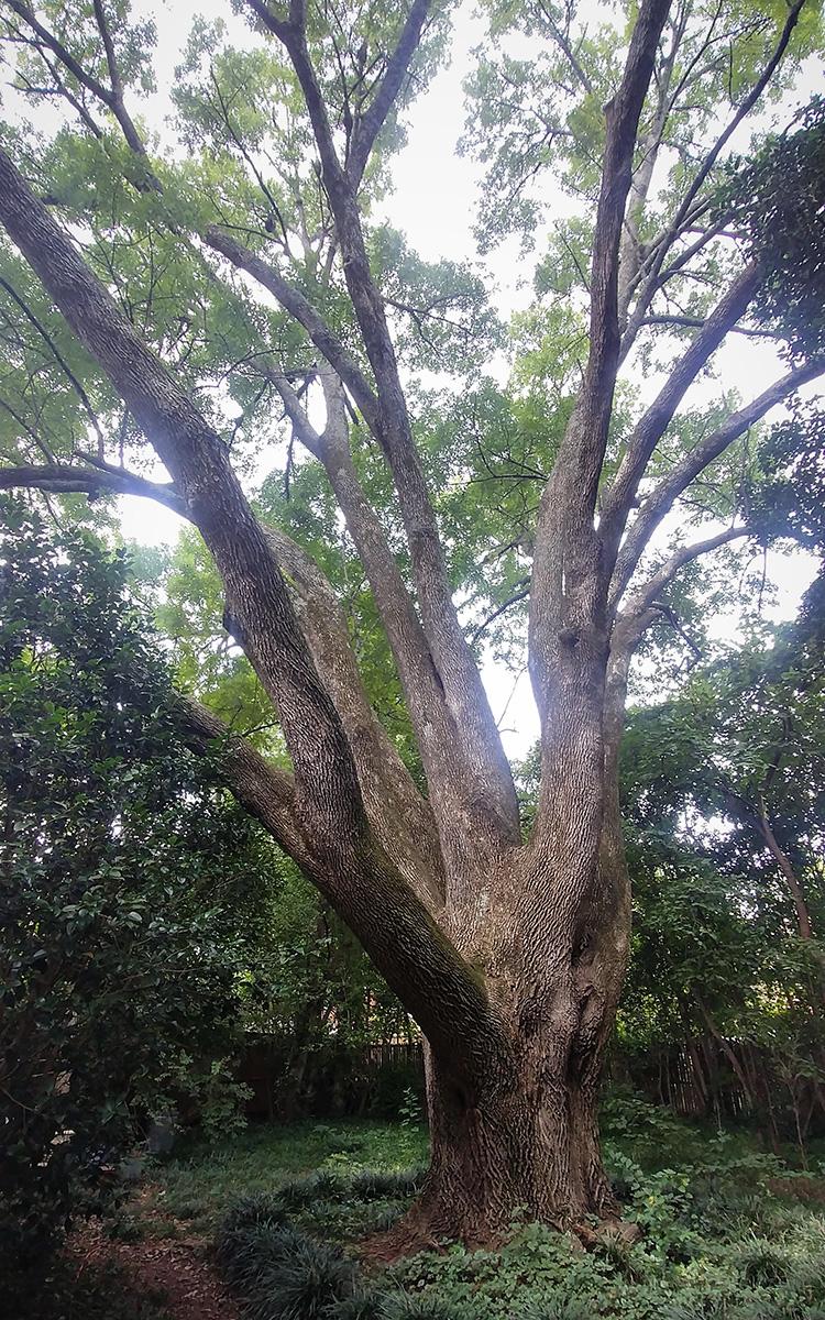 healthy ash tree