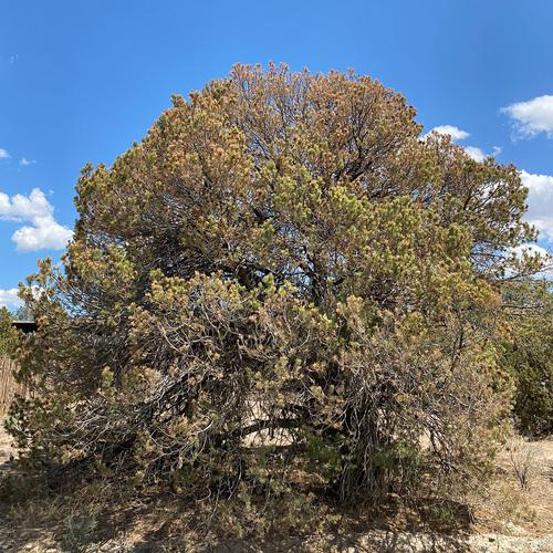 dying piñon pine