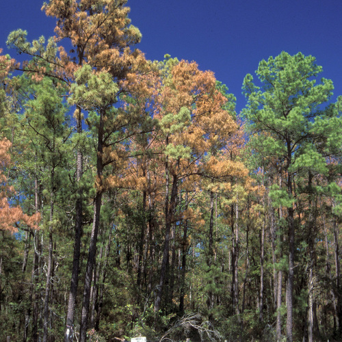 pine trees infested with pine ips beetles