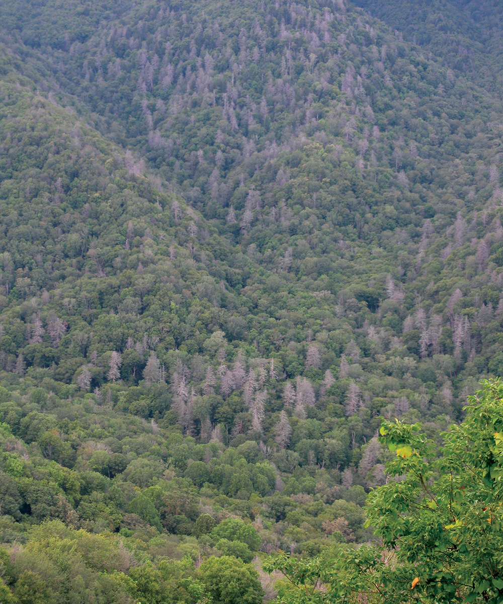 forest affected by hemlock woolly adelgid