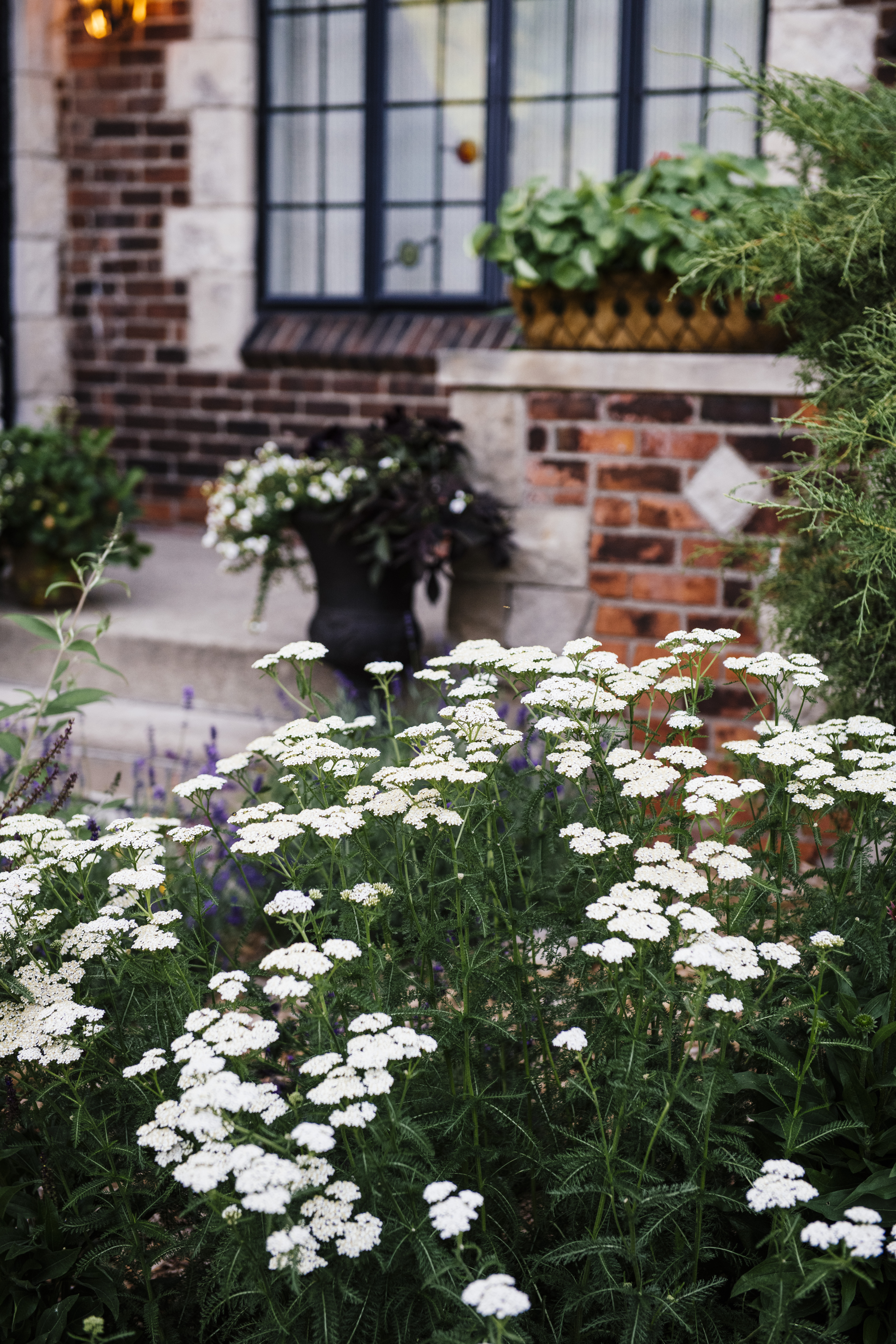 White yarrow with front porch behind