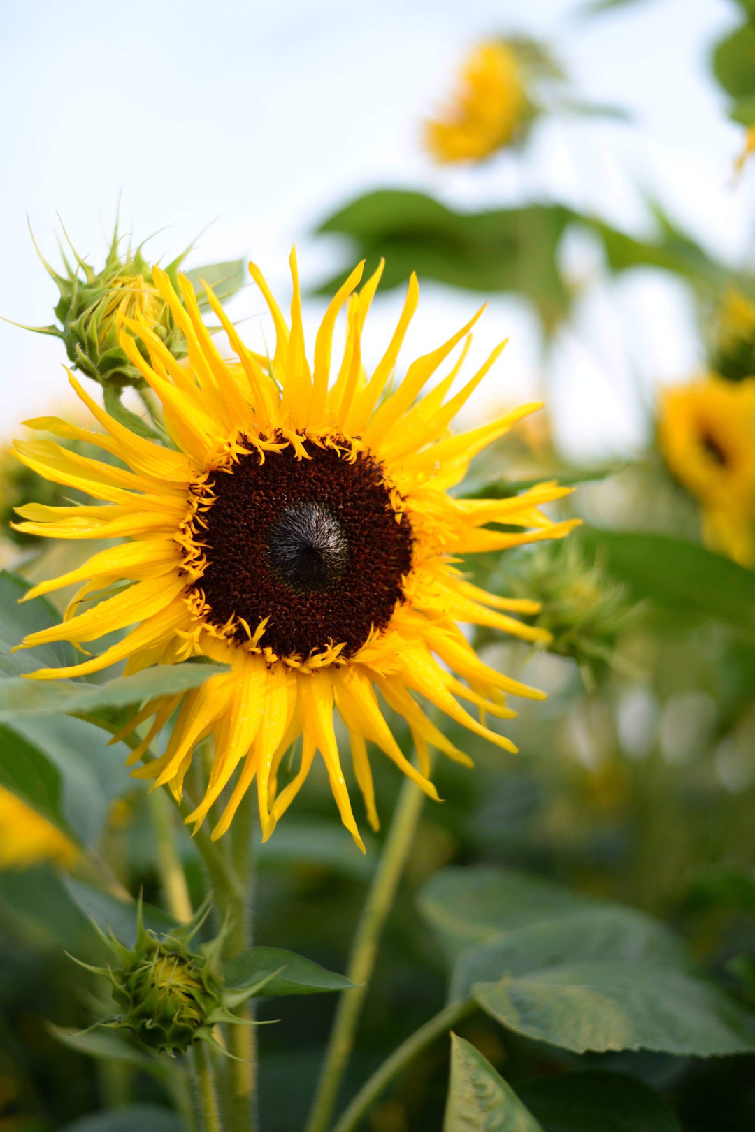 Sunflower with narrow petals