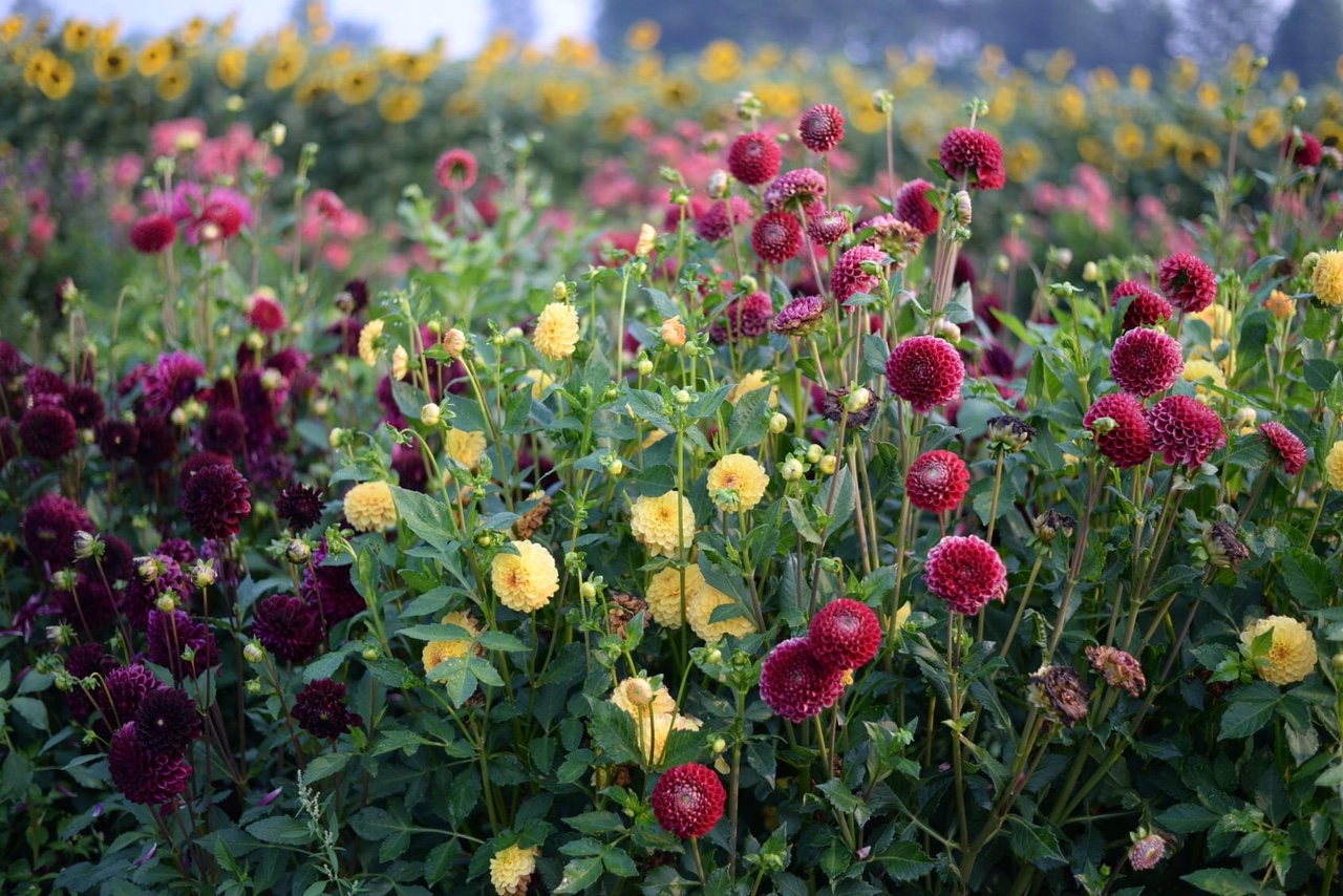Mix different colored dahlias
