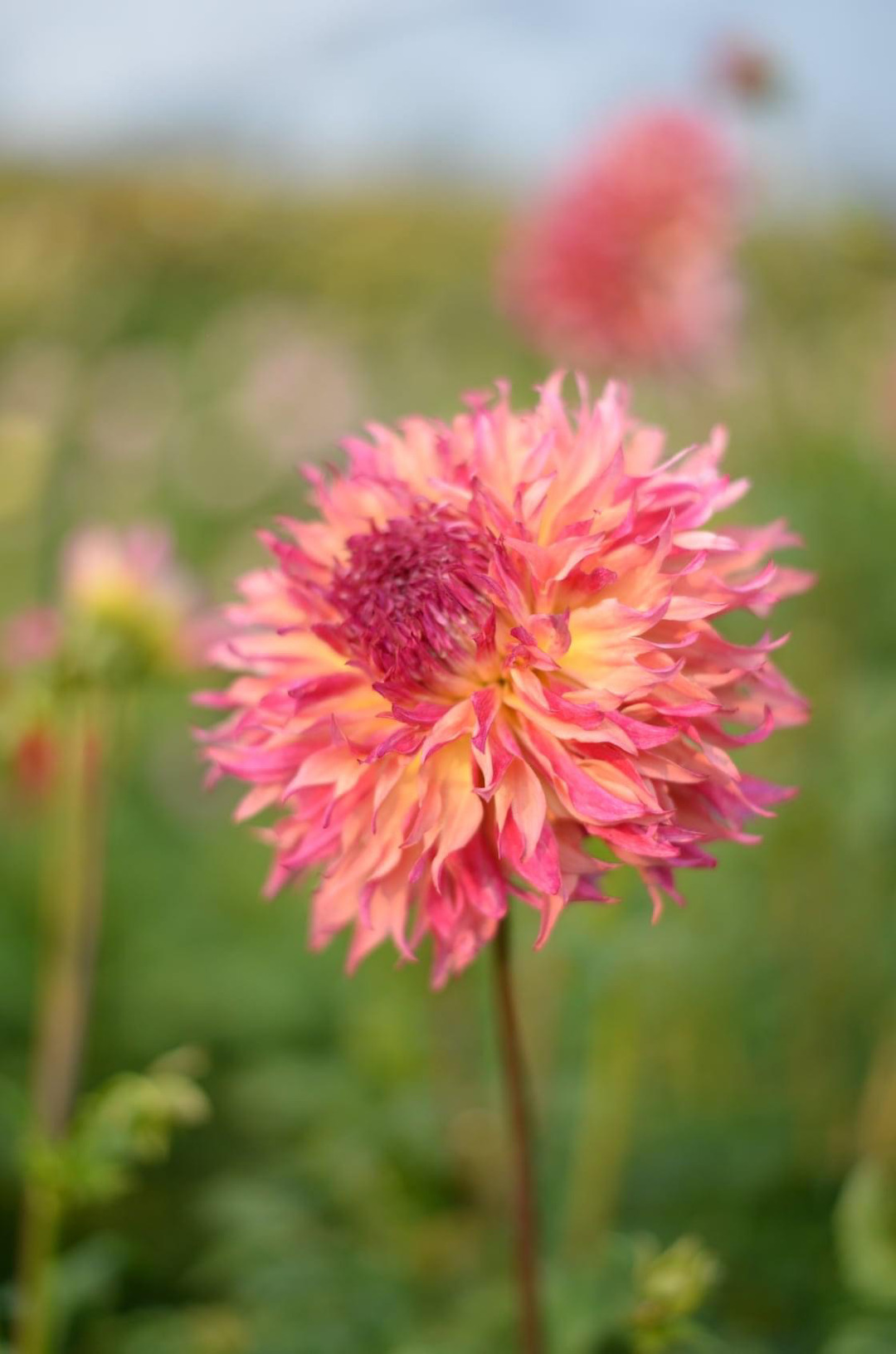 Light pink and yellow dahlia
