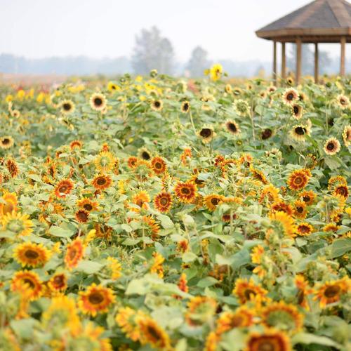 big mass of sunflowers