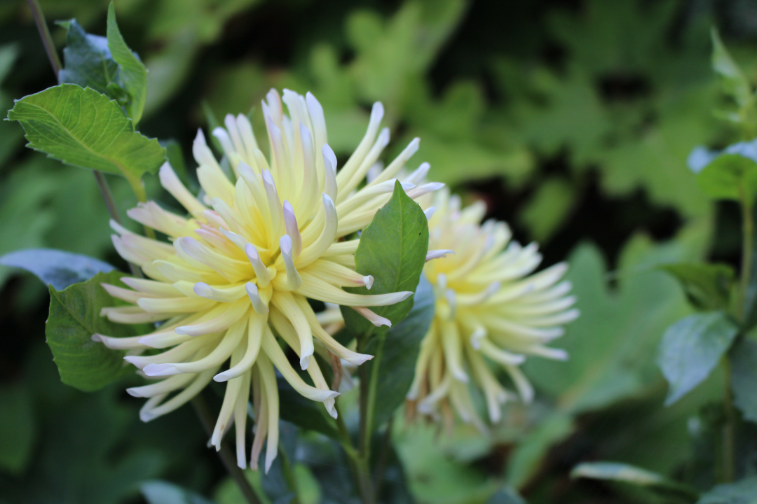 light yellow and pink dahlia