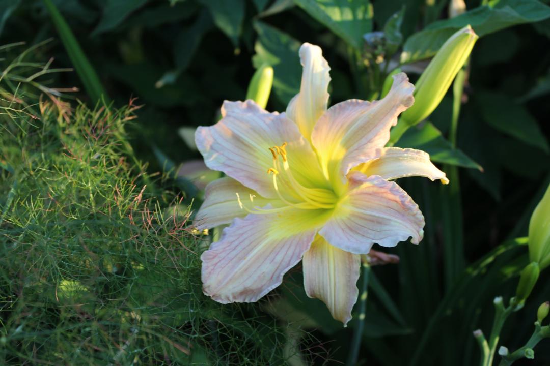 light yellow and pink daylily