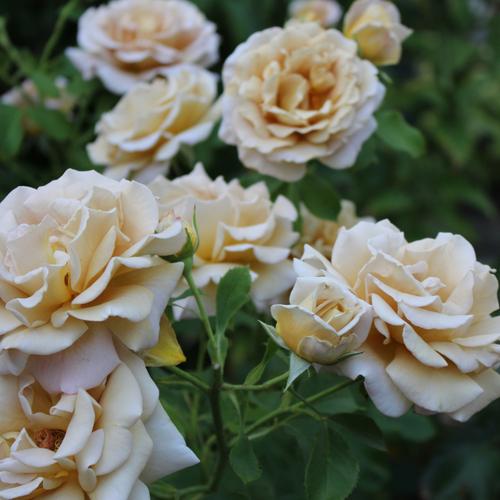 light orange roses
