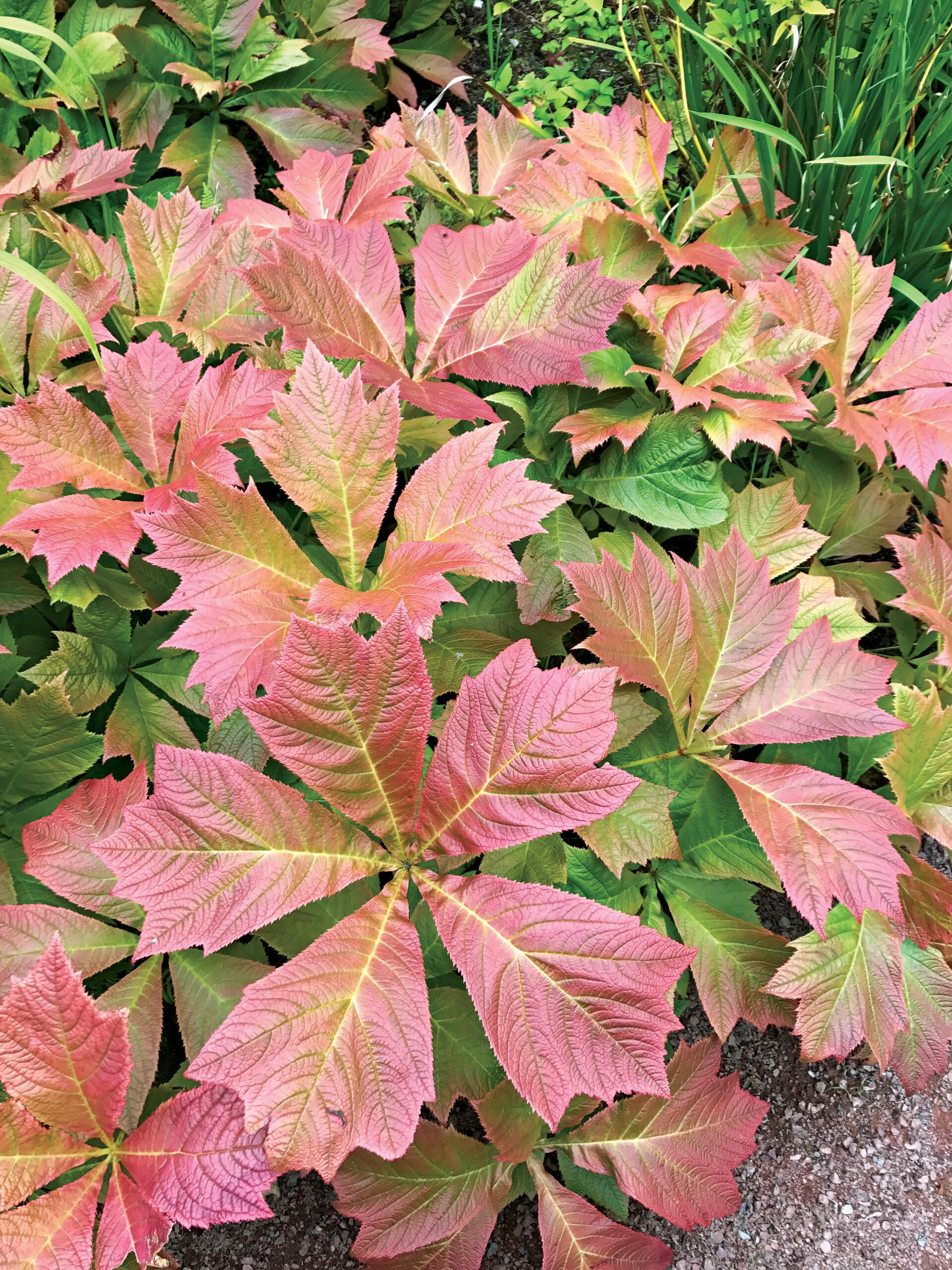 Bronze-leaf rodgersia