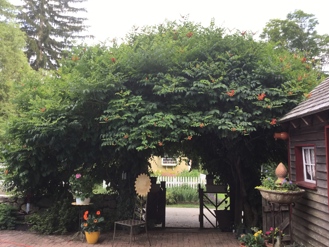 massive vine over a garden gate