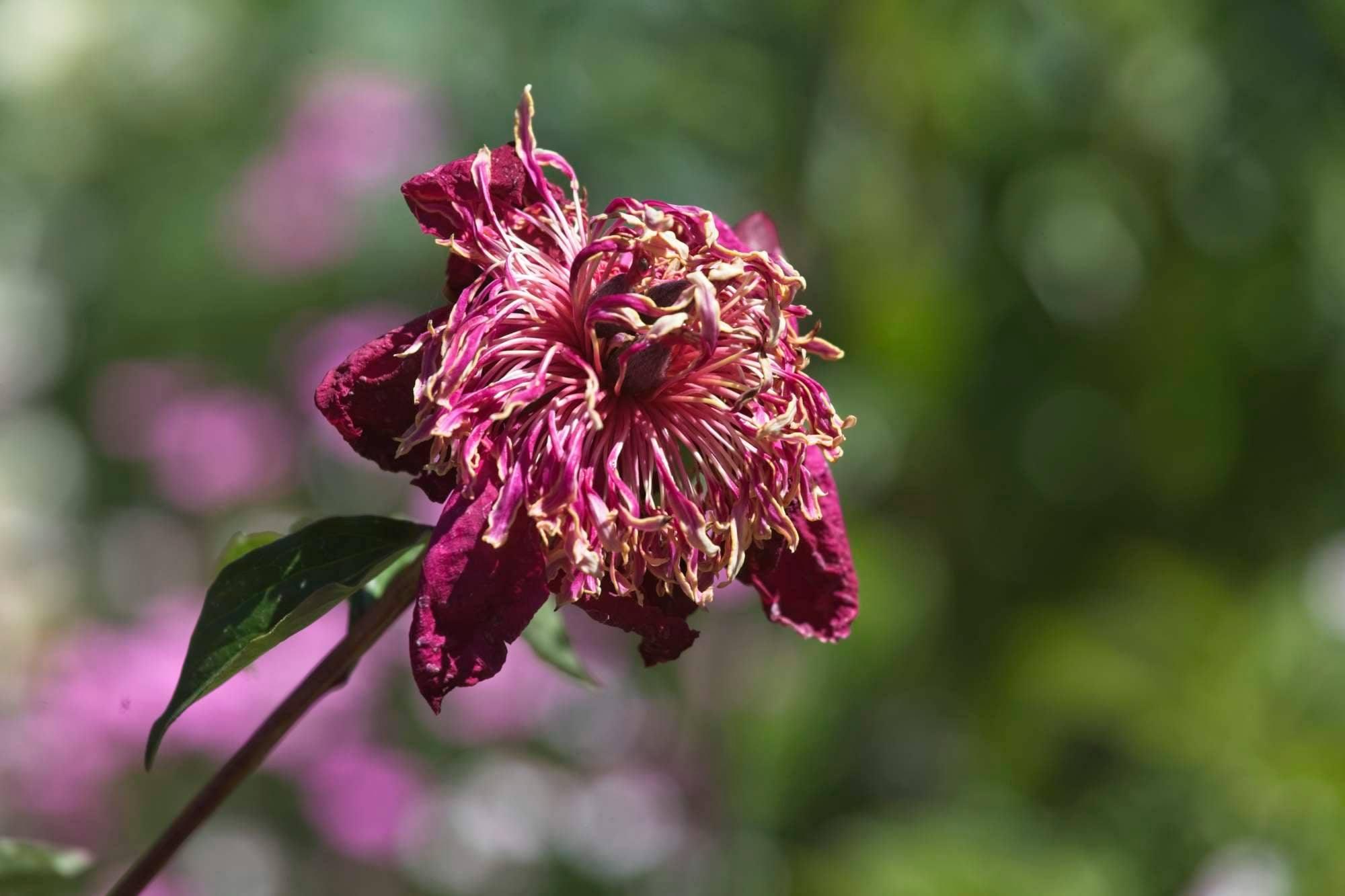 wilted pink flower