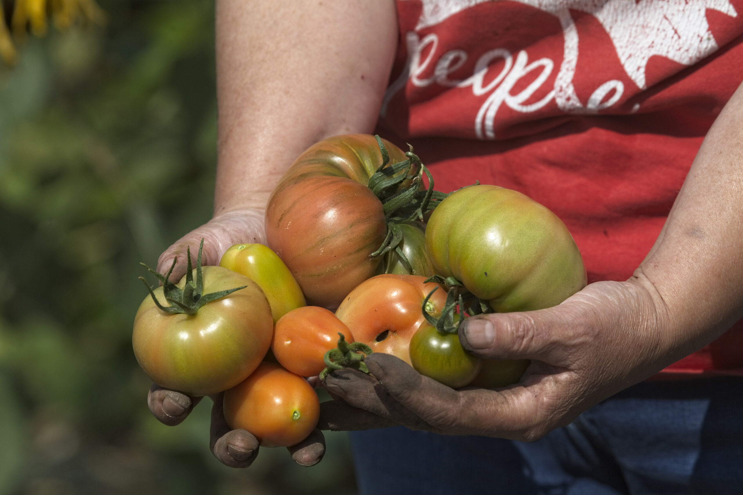 tomatoes of various sizes in someones hands