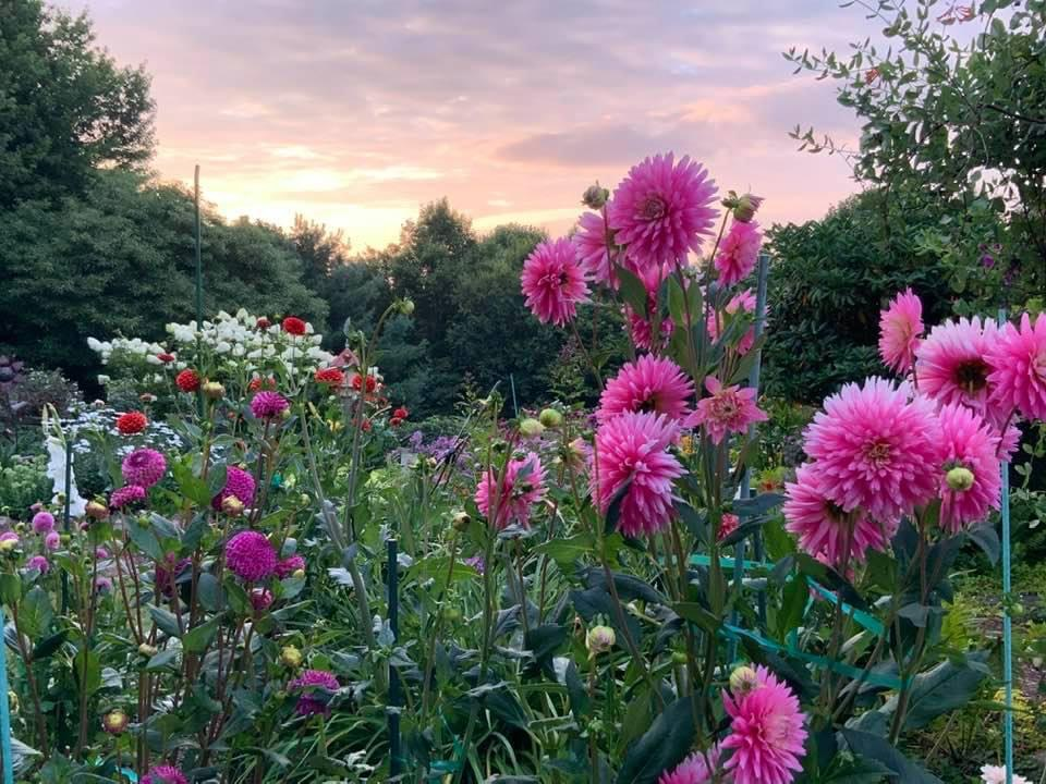 pink dahlias at sunset