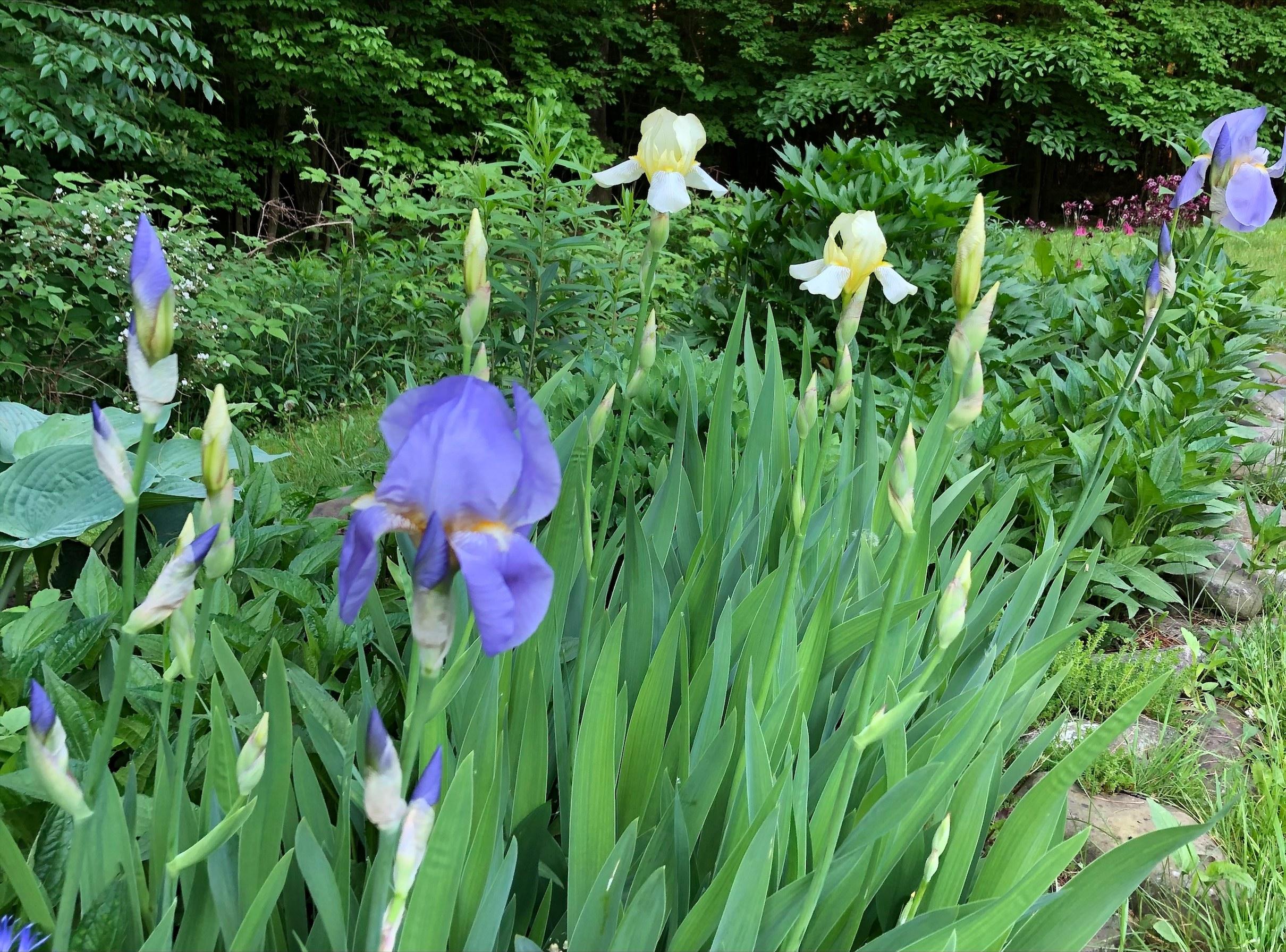 purple and white irises