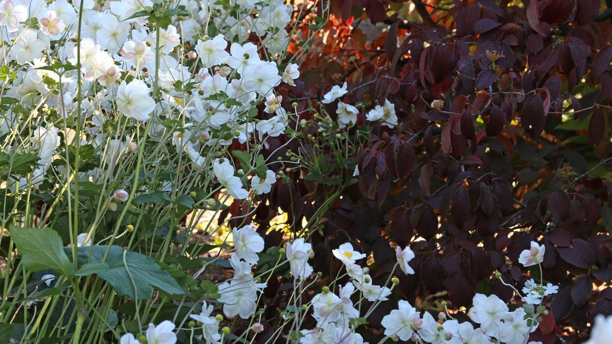 'Summer Snowflake' doublefile viburnum with 'Honorine Jobert' anemone (Anemone × hybrida 'Honorine Jobert', Zones 4-8)