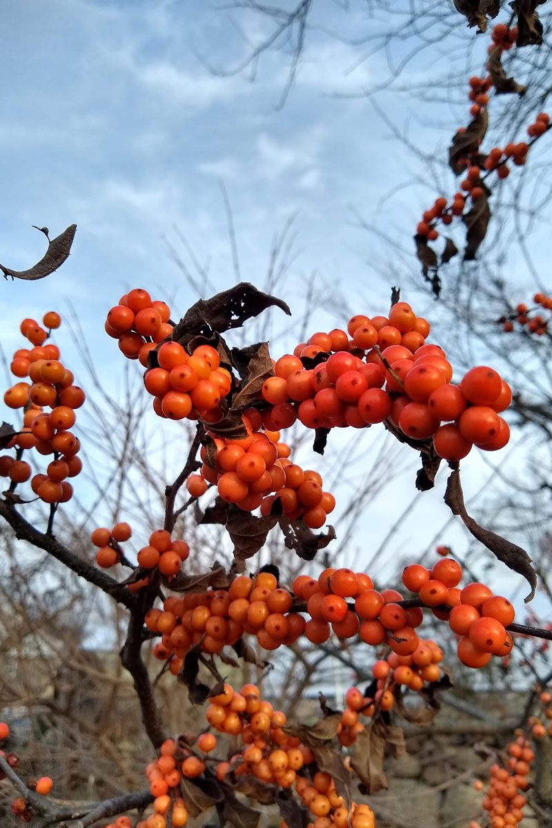 'Winter Gold' winterberry