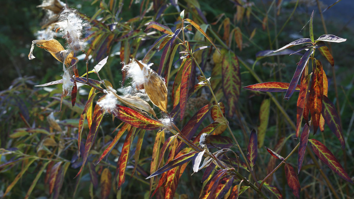 Swamp milkweed autumn foliage color and seed pods
