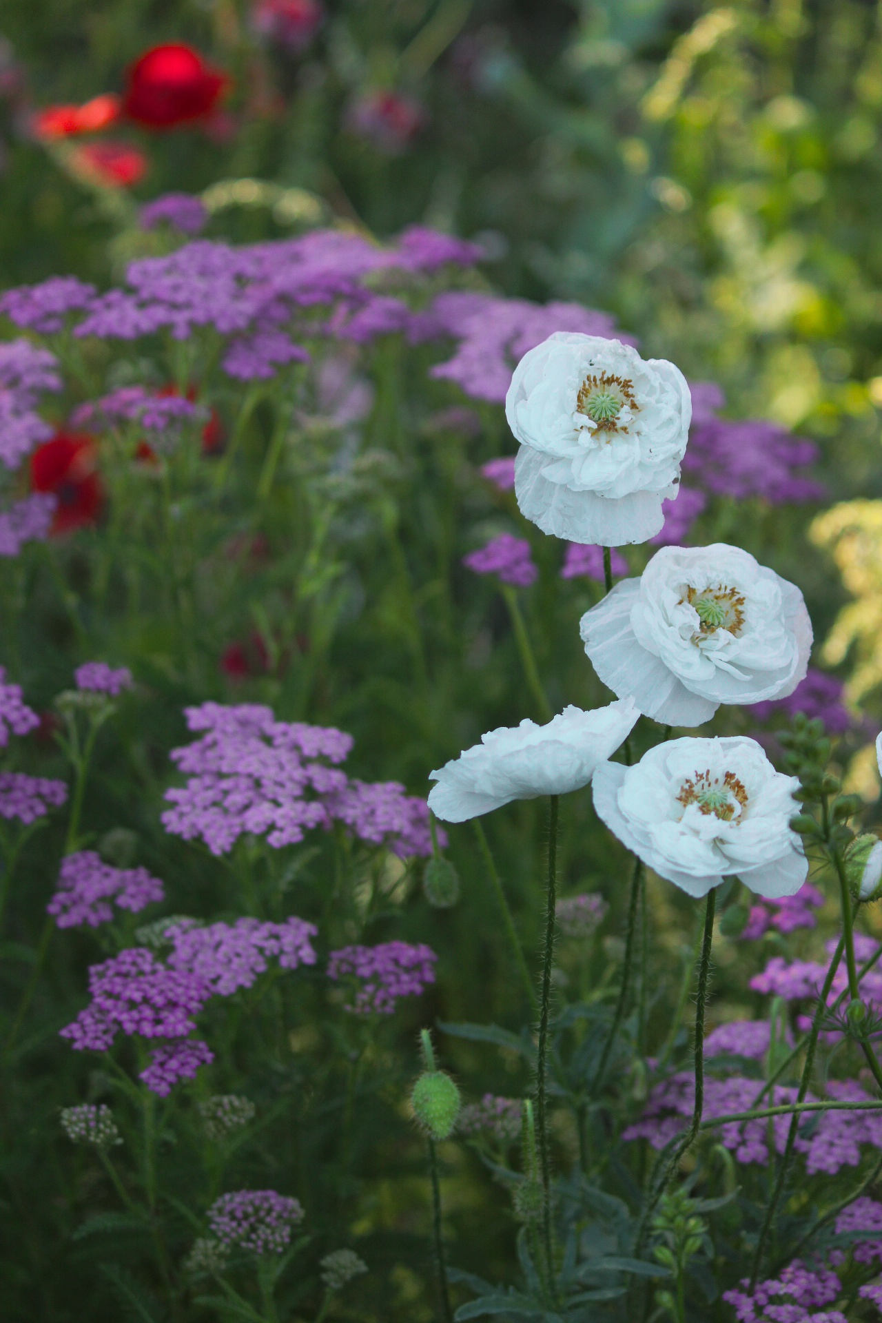 white poppies with purple flowers behind