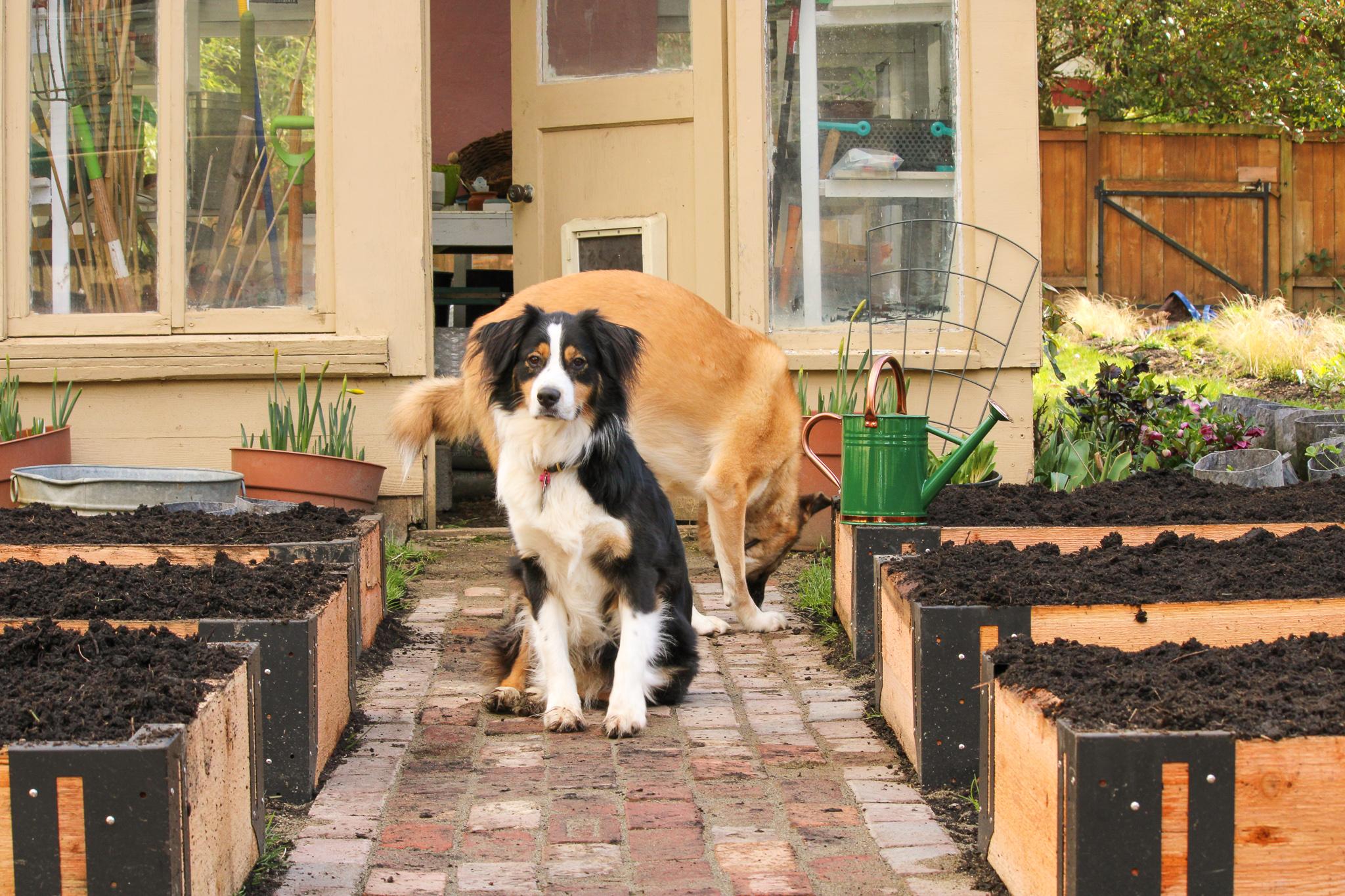 two dogs between raised garden beds