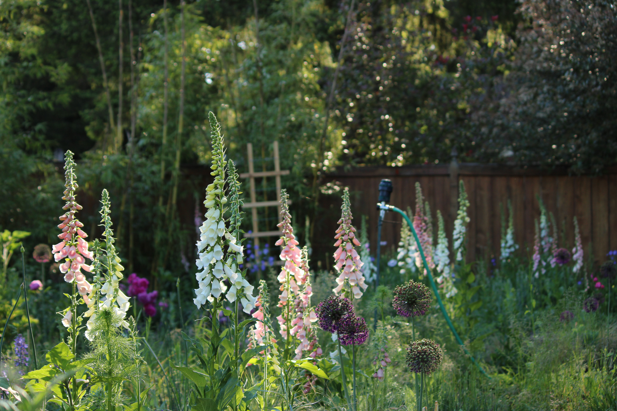 foxgloves of various colors