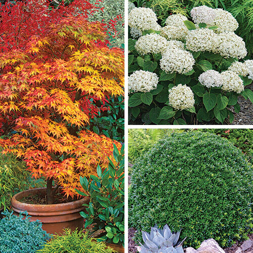 compact shrubs