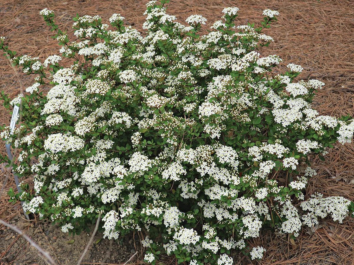 Raulston Hardy small-leaf viburnum