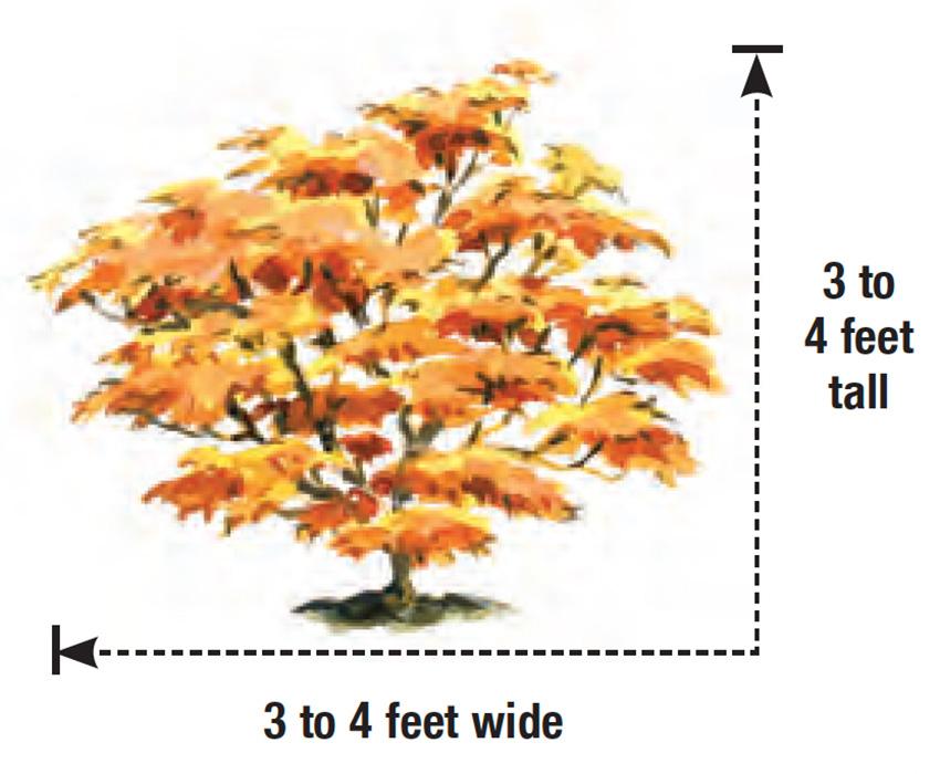 Mikawa Yatsubusa Japanese maple height and width