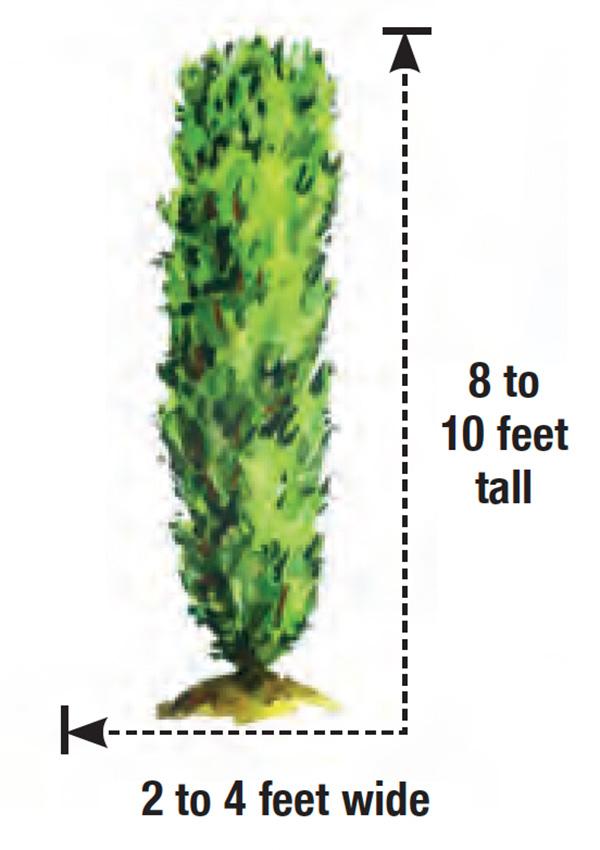 Stonehenge yew height and width