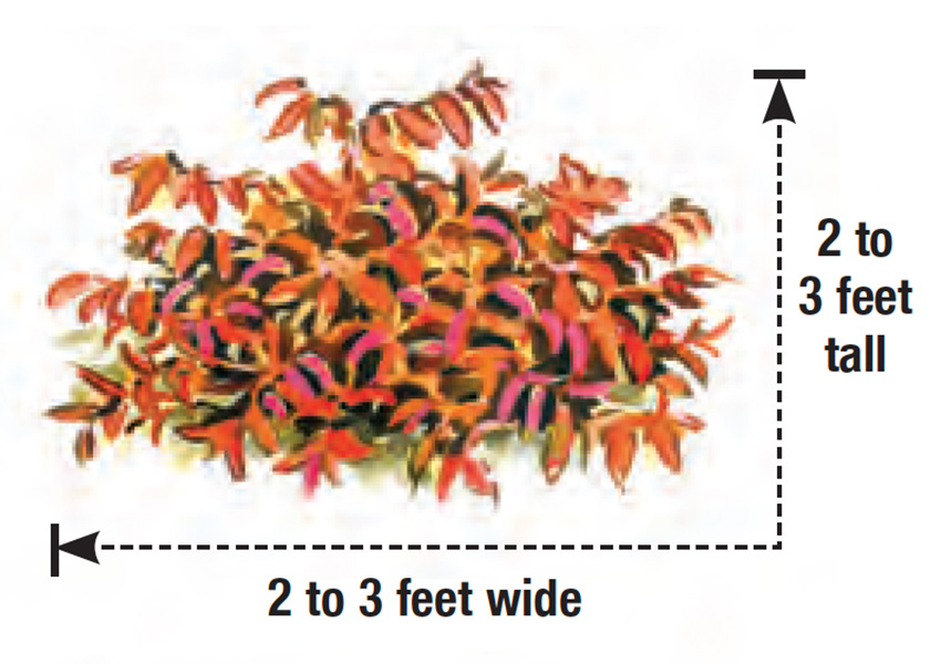 Royal Ruby Japanese leucothoe height and width
