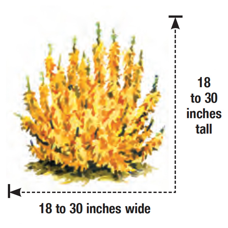 Sugar Baby forsythia height and width