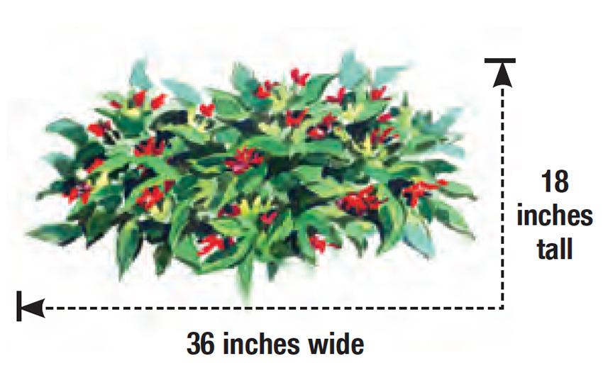 Swamp Hobbit anise shrub height and width